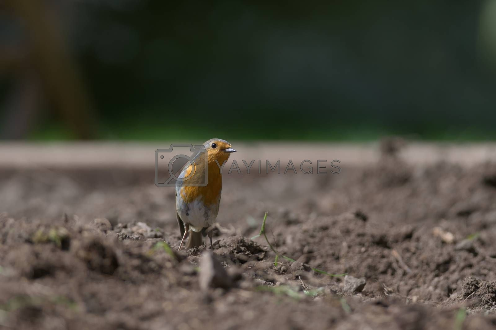 Surrounded by earth and green pieces of plant, a redbreast robin stands among a garden planting bed, inquisitively tilts head to look at the camera.