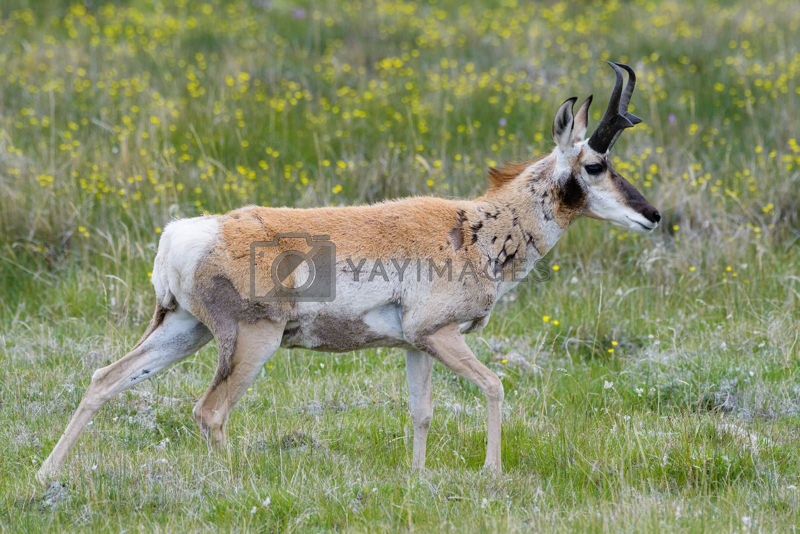 Wild Pronghorn in the Colorado Grasslands by Gary Gray