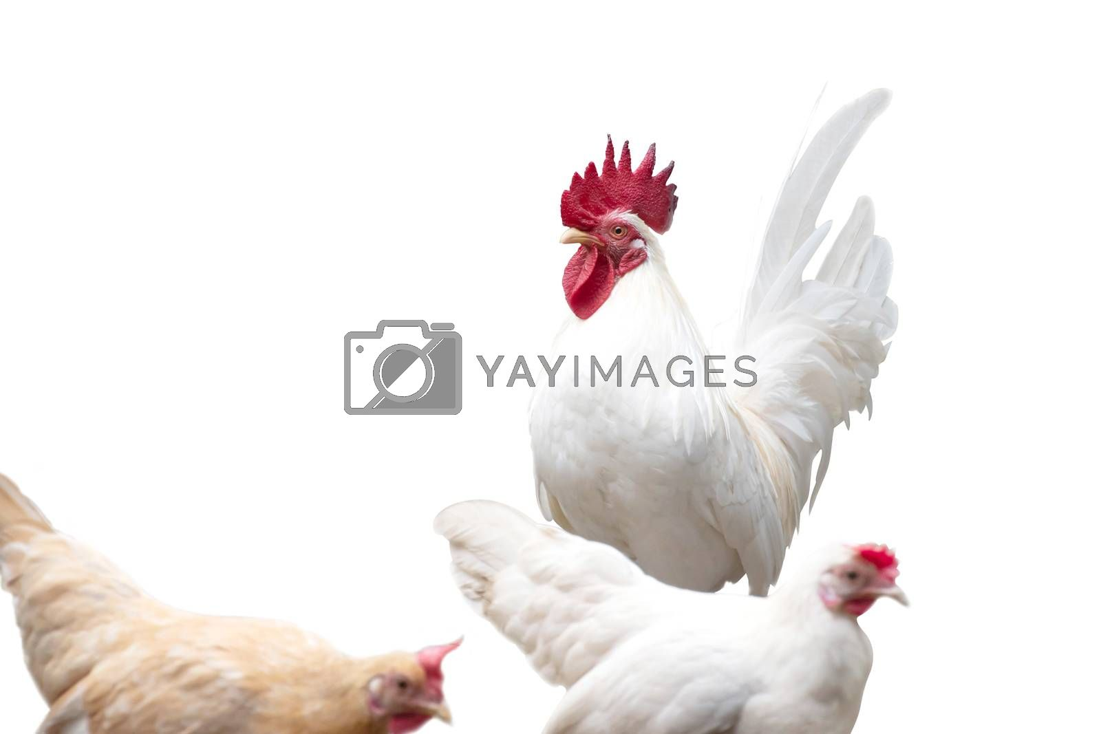 Bantum chicken isolated on white background, with clipping path