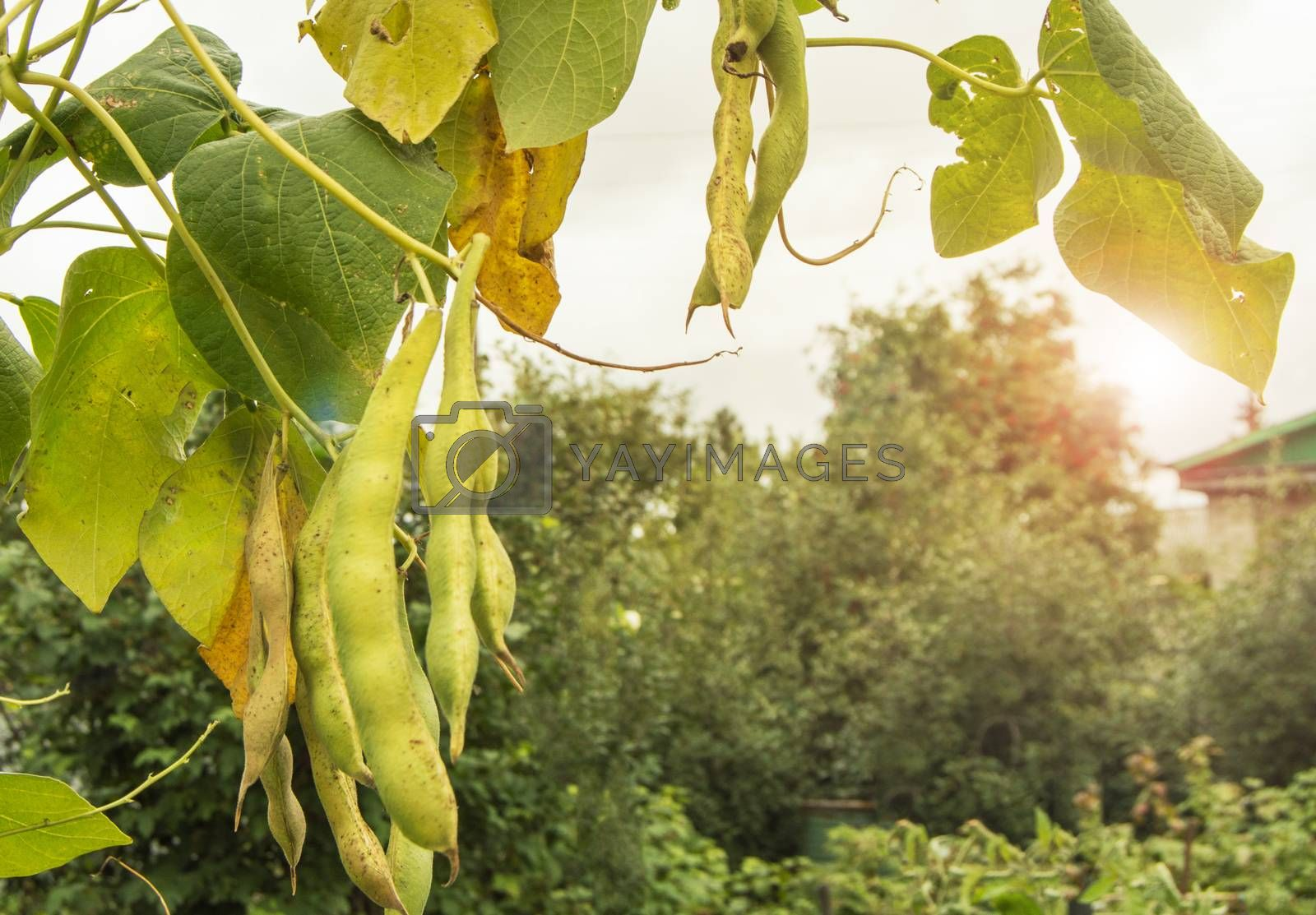 Bean plant with large pods on the background of a garden with trees and the sky on a Sunny summer day, the concept of agriculture.