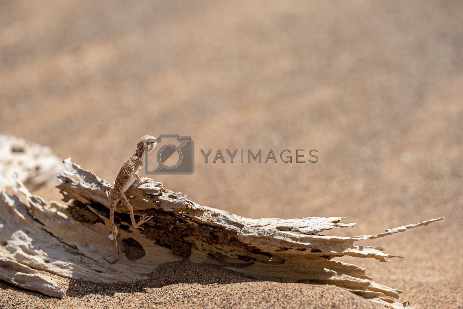 Arabian toad-headed agama (Phrynocephalus arabicus) in the Desert, standing on a dead trunk with copy space, Sharjah, United Arab Emirates (UAE), Arabian Peninsula, Middle East