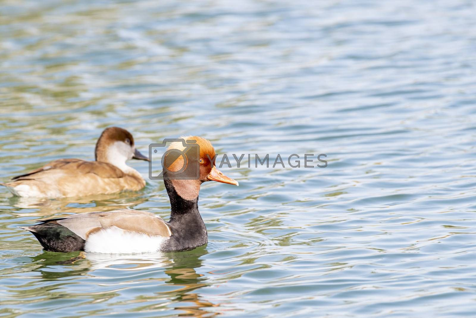 Kind of Ducks seen near Al Qudra Lakes, Dubai, United Arab Emirates (UAE), Middle East, Arabian Peninsula