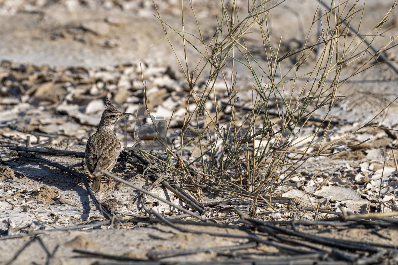 Crested lark (Galerida cristata) seen near Al Qudra Lakes, Dubai, United Arab Emirates (UAE), Middle East, Arabian Peninsula