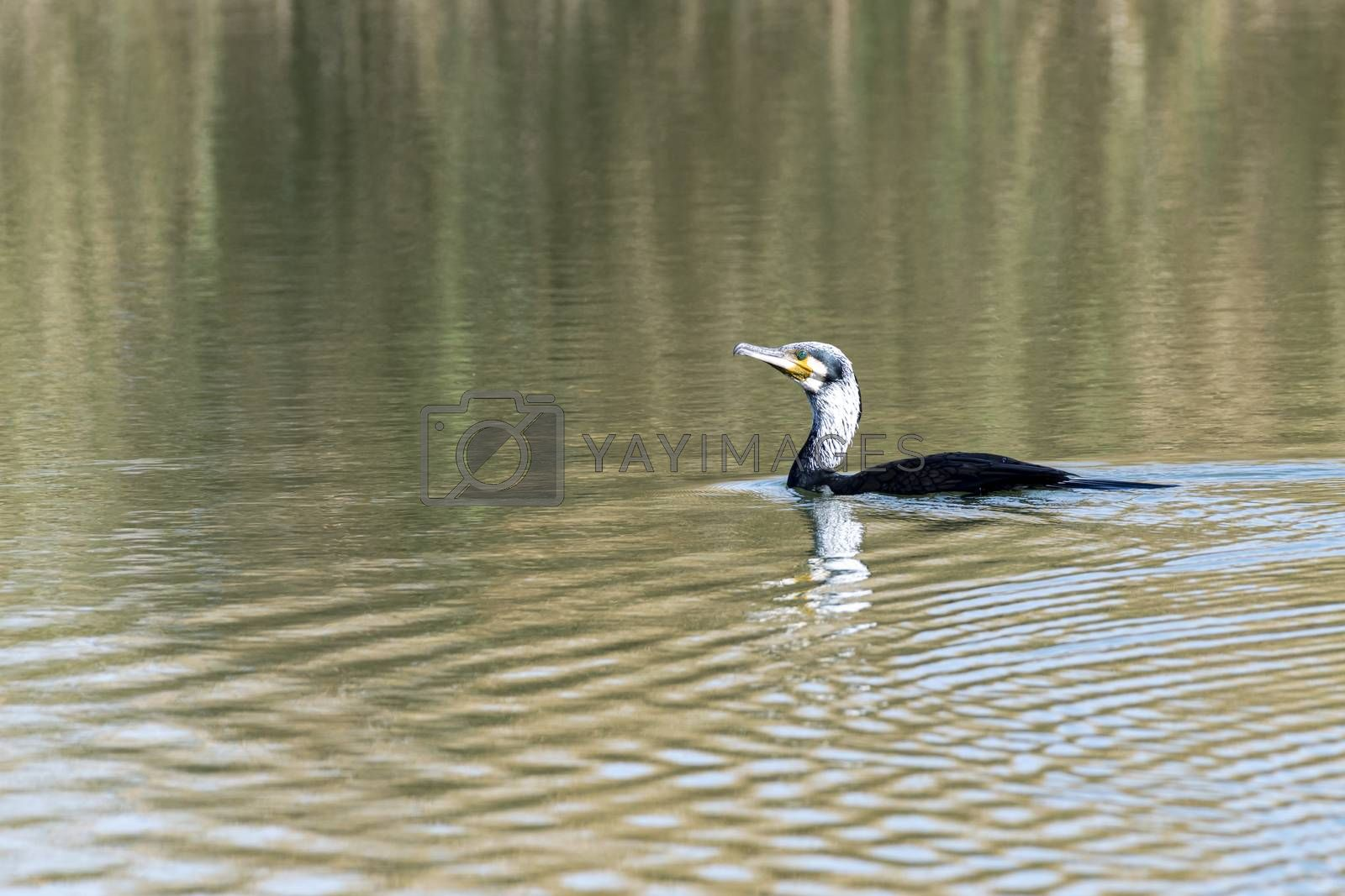 Waterbird or aquatic bird seen near Al Qudra Lakes, Dubai, United Arab Emirates (UAE), Middle East, Arabian Peninsula