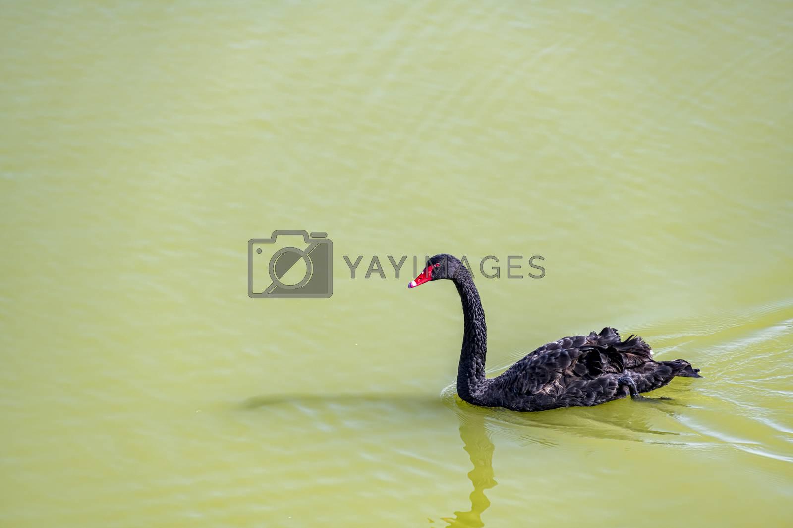 Black swan against green water