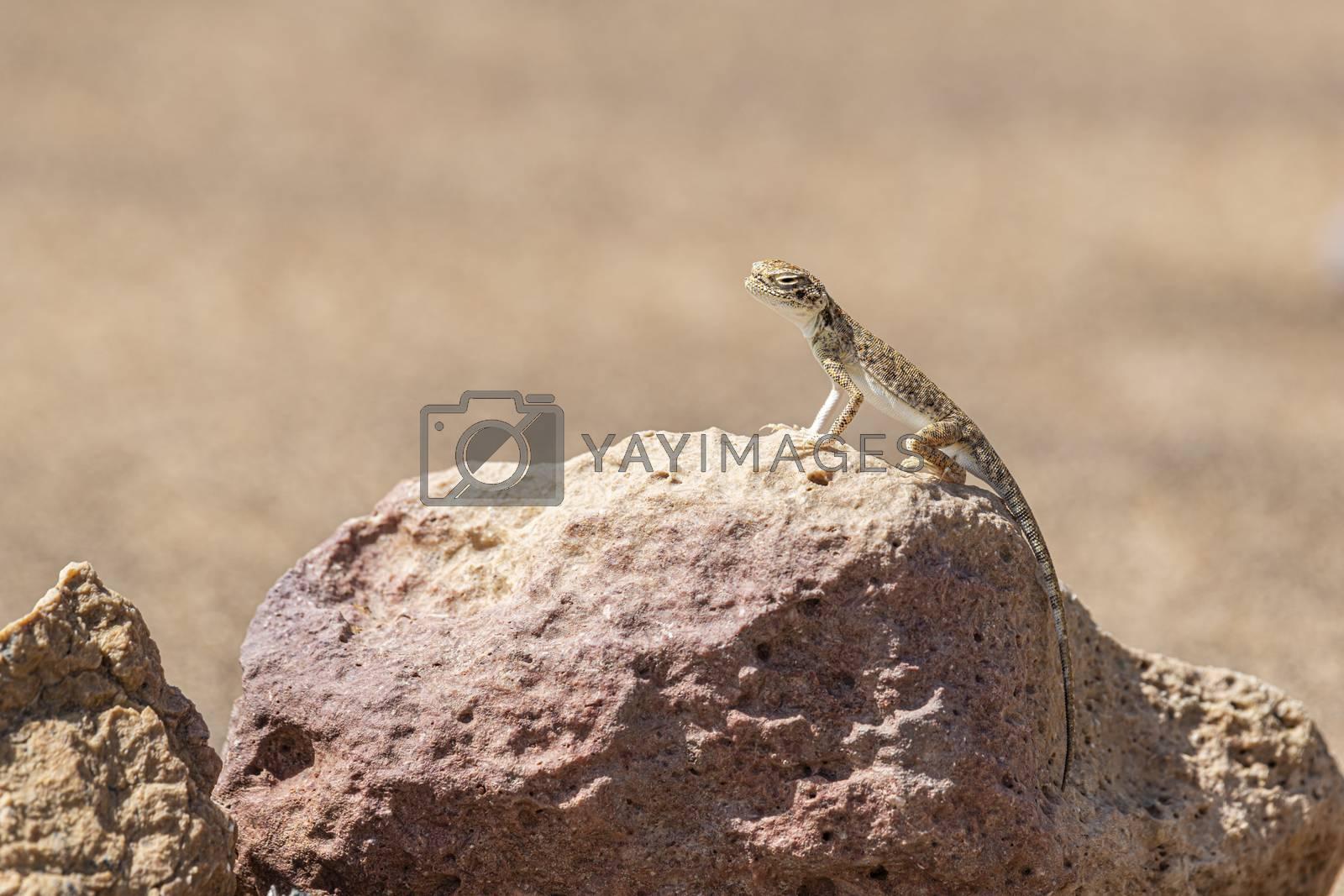 Close-up of Arabian toad-headed agama (Phrynocephalus arabicus) in the Desert, stanbding on a stone, Sharjah, United Arab Emirates (UAE), Arabian Peninsula, Middle East