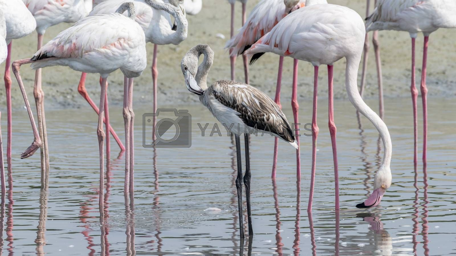 Juvenile Greater Flamingo in a the wetlands of Dubai, United Arab Emirates (UAE), Middle East, Arabian Peninsula