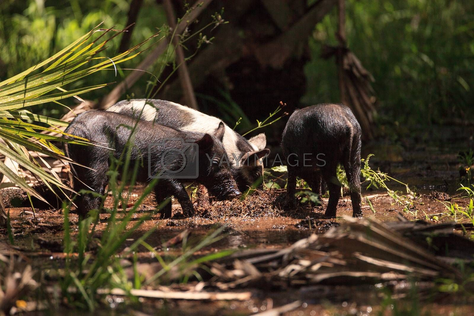 Baby wild hog also called feral hog or Sus scrofa forage for food in Myakka River State Park during the flood season in Sarasota, Florida.