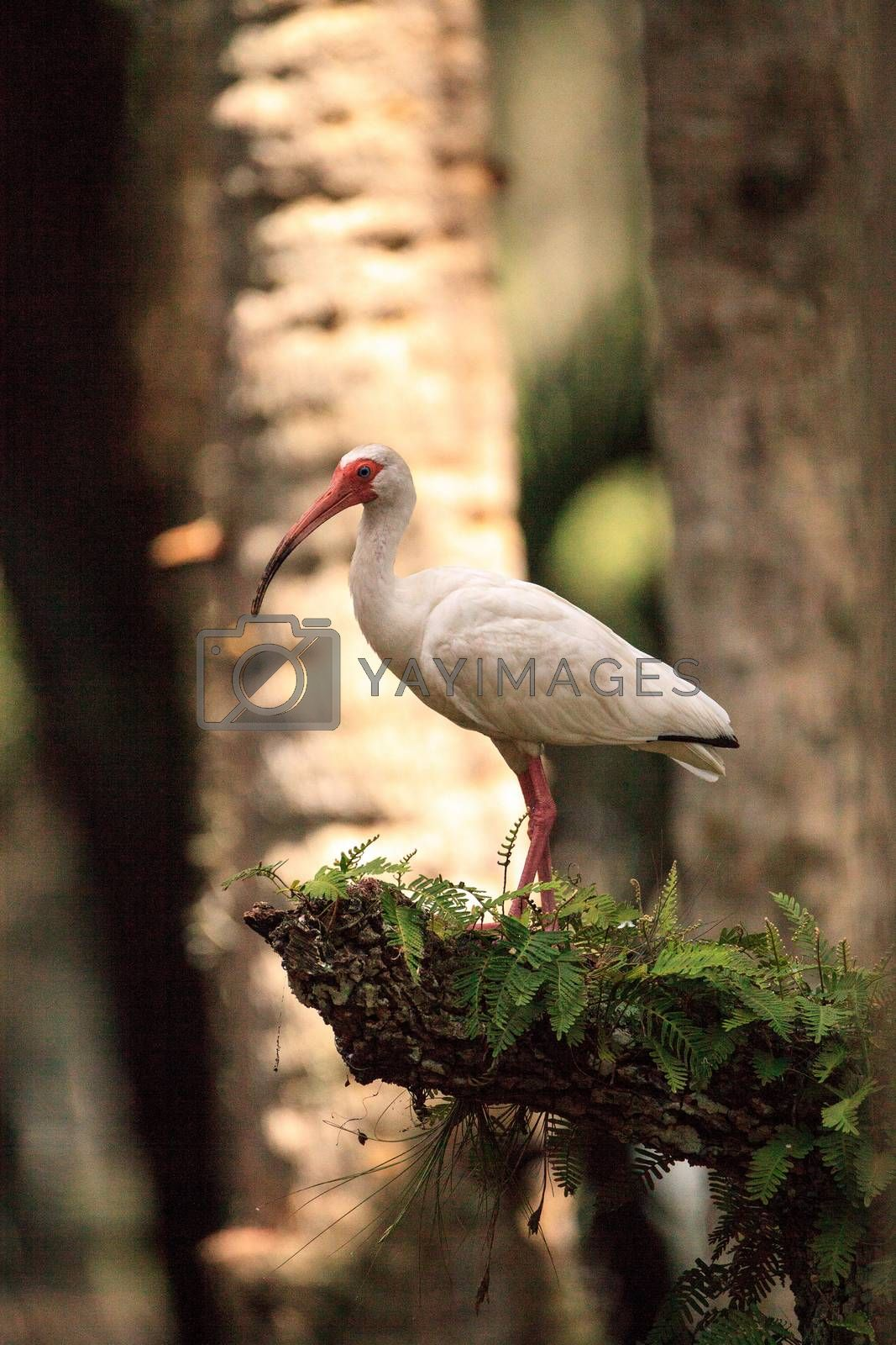 American white bird Eudocimus albus wading bird perched on a tree in swamp of Myakka River State Park in Sarasota, Florida.