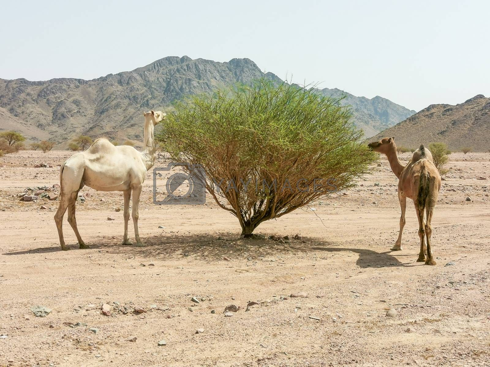 Desert landscape view with camels. selective focus