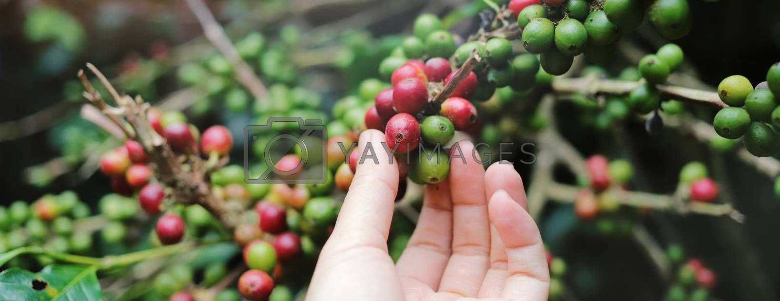 Close up woman hand picking red arabica coffee beans on coffee plant, photo banner for website header design