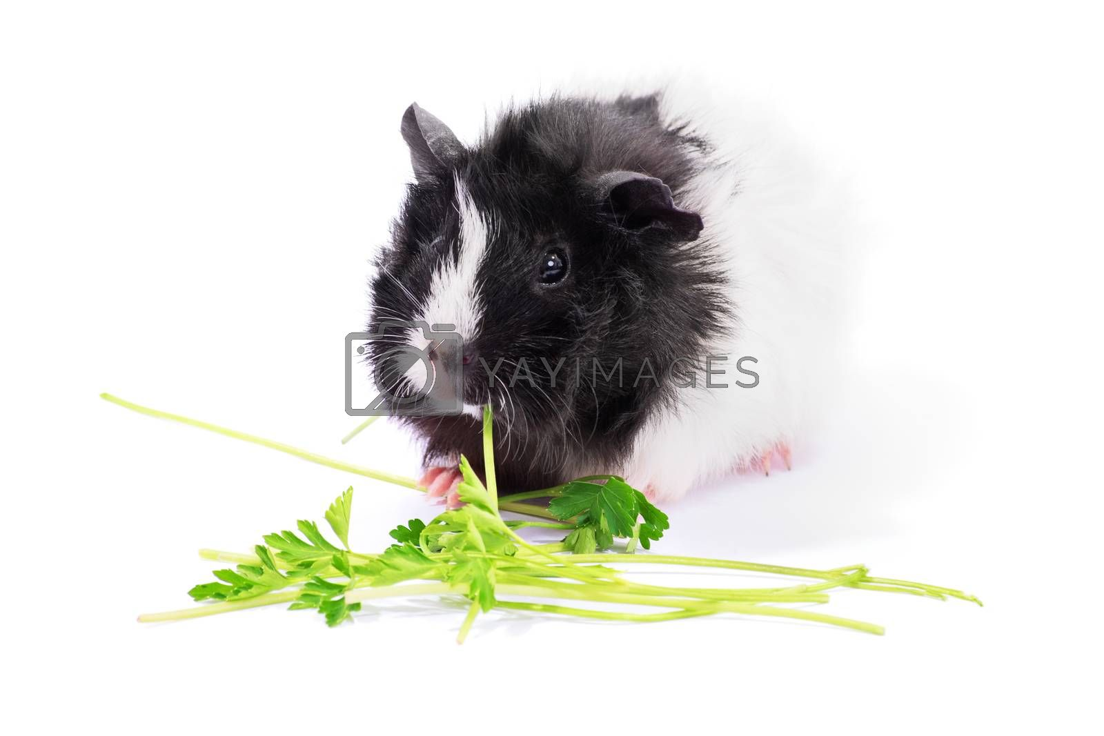 Cute black and white guinea pig eating parsley, isolated on white background.