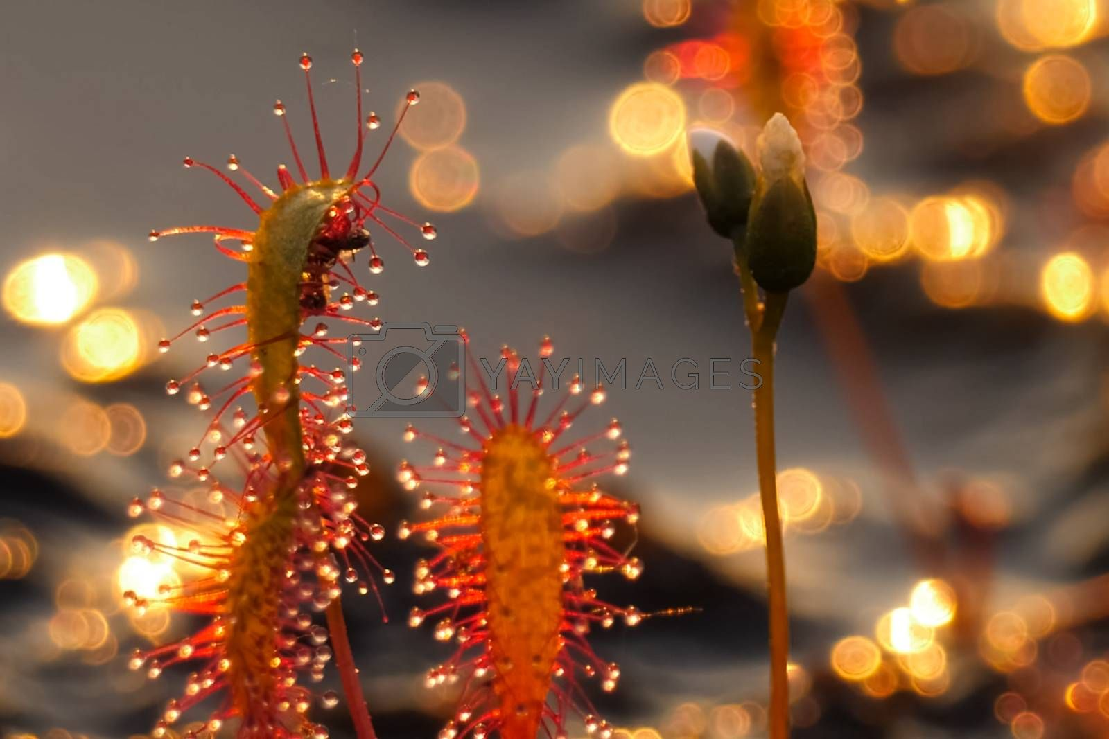 The insectivorous plant is a sundew. Predatory plant. Drosera