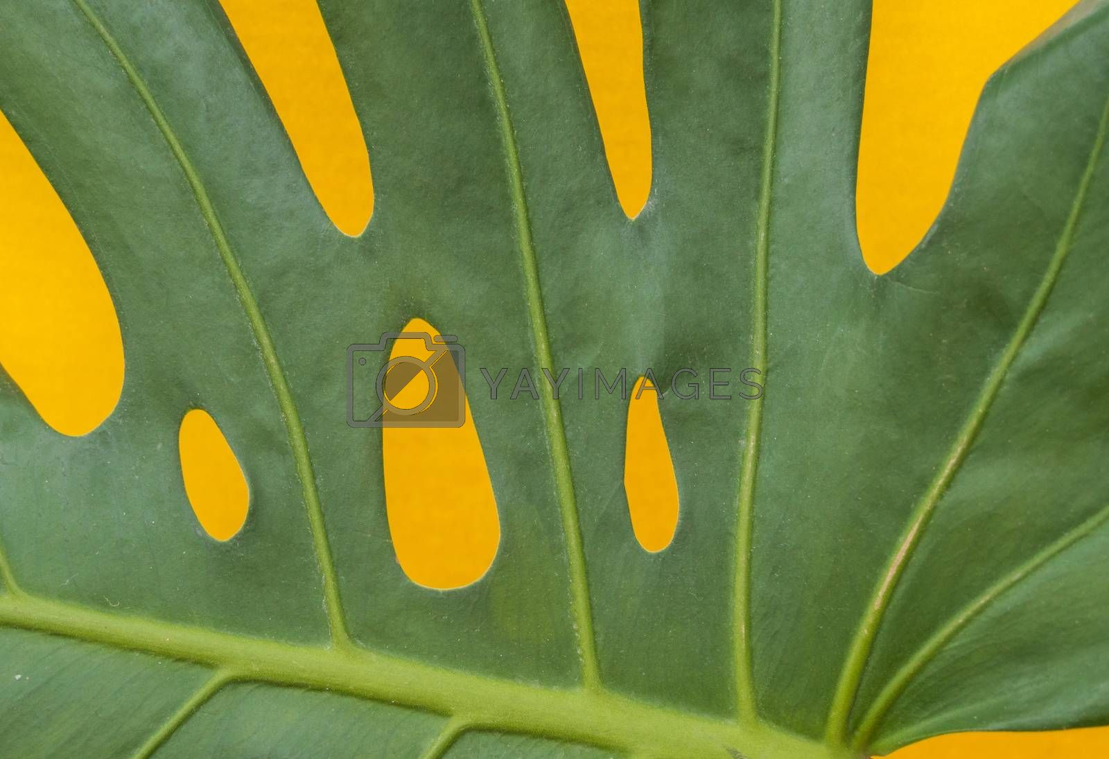 Close-up of tropical monstera leaves on a yellow background. The view from the top.