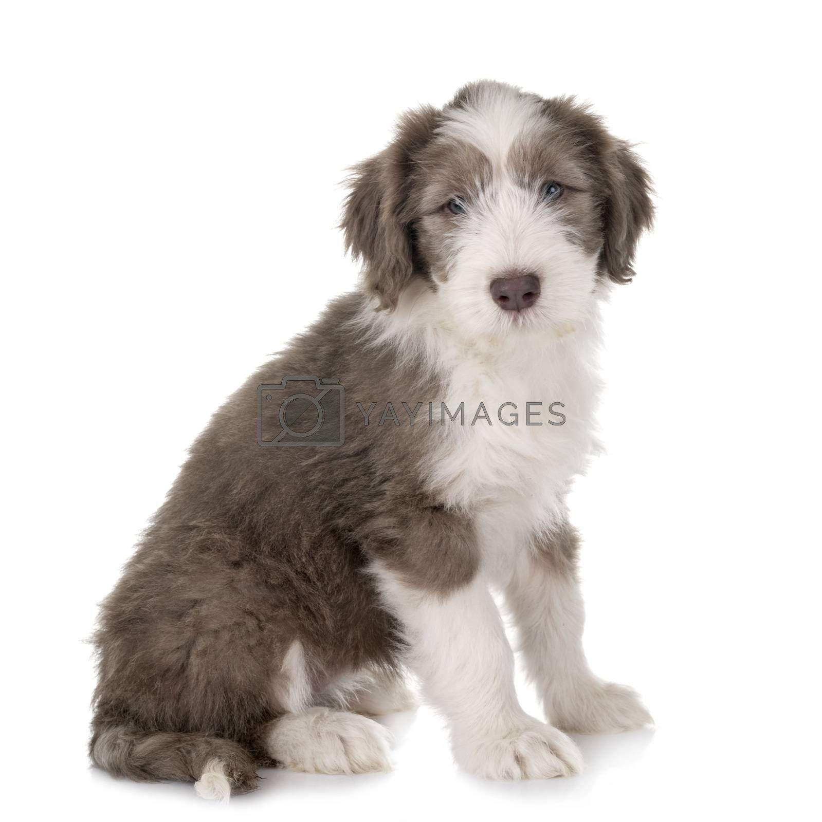 puppy bearded collie in front of white background