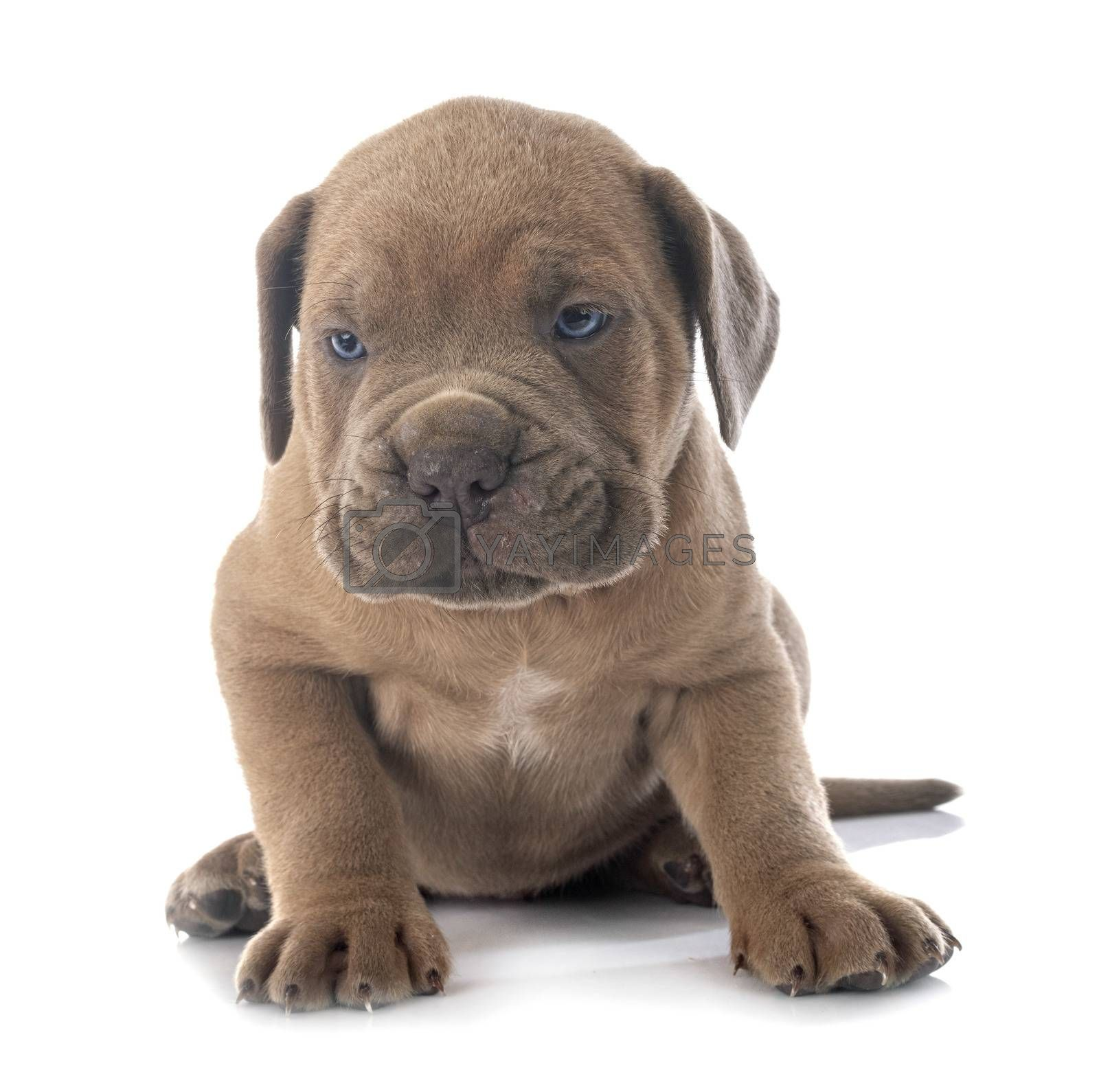 puppy italian mastiff in front of white background