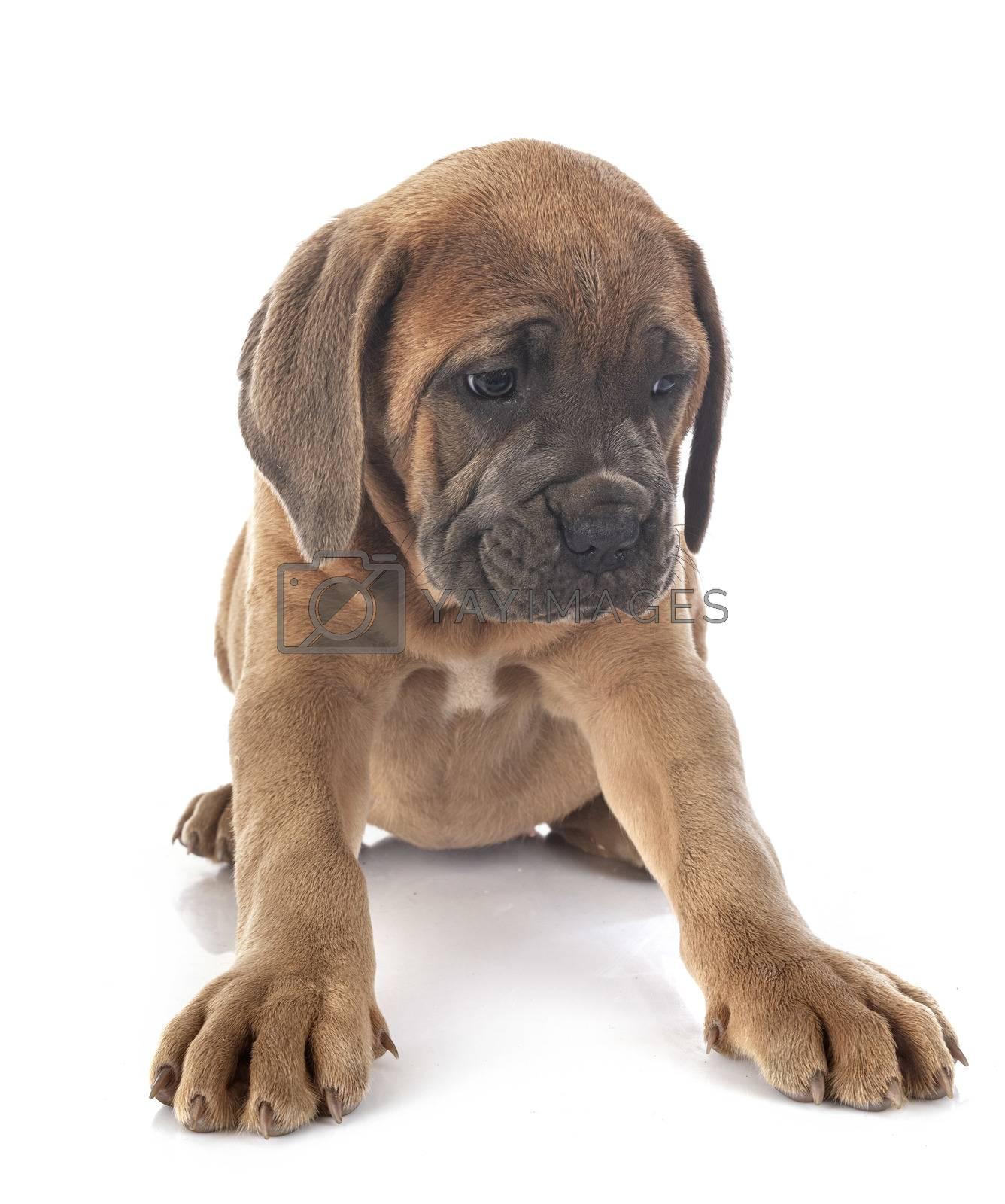 puppy italian mastiff in front of white background