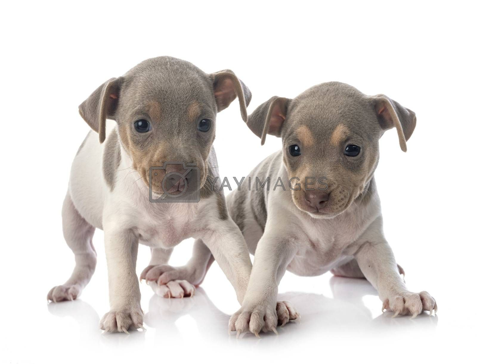 puppies brazilian terrier in studio by cynoclub