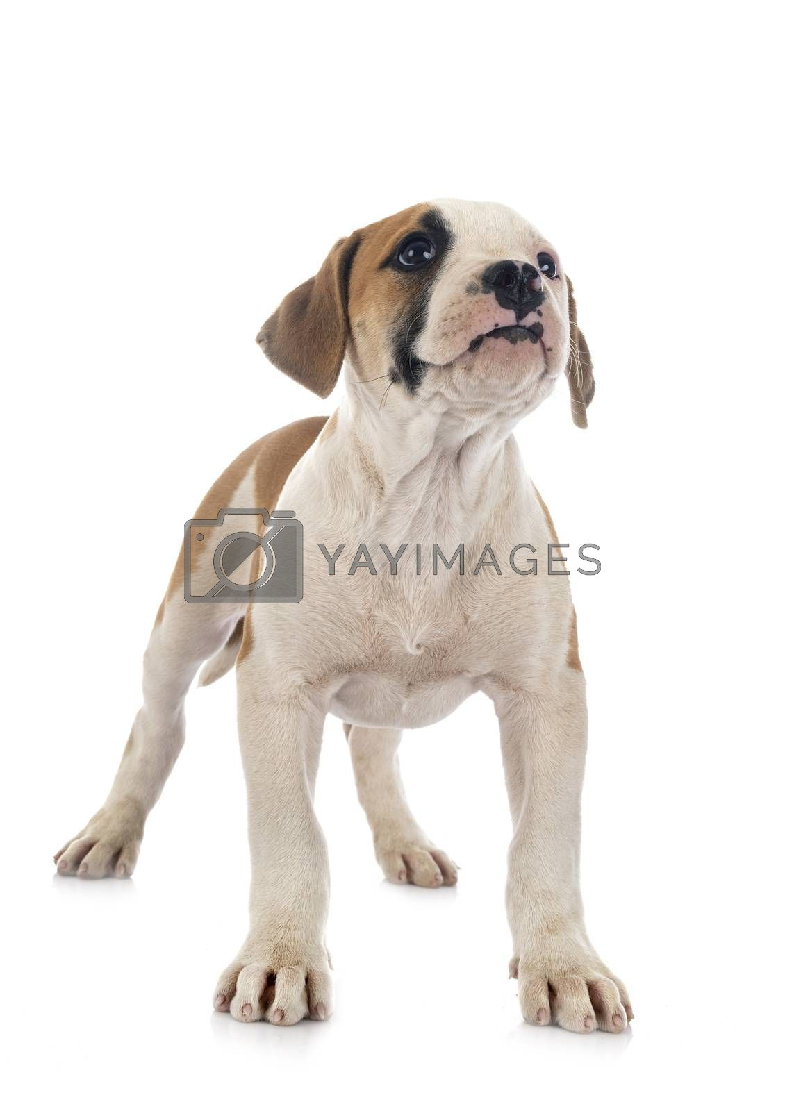 puppy american bulldog in front of white background
