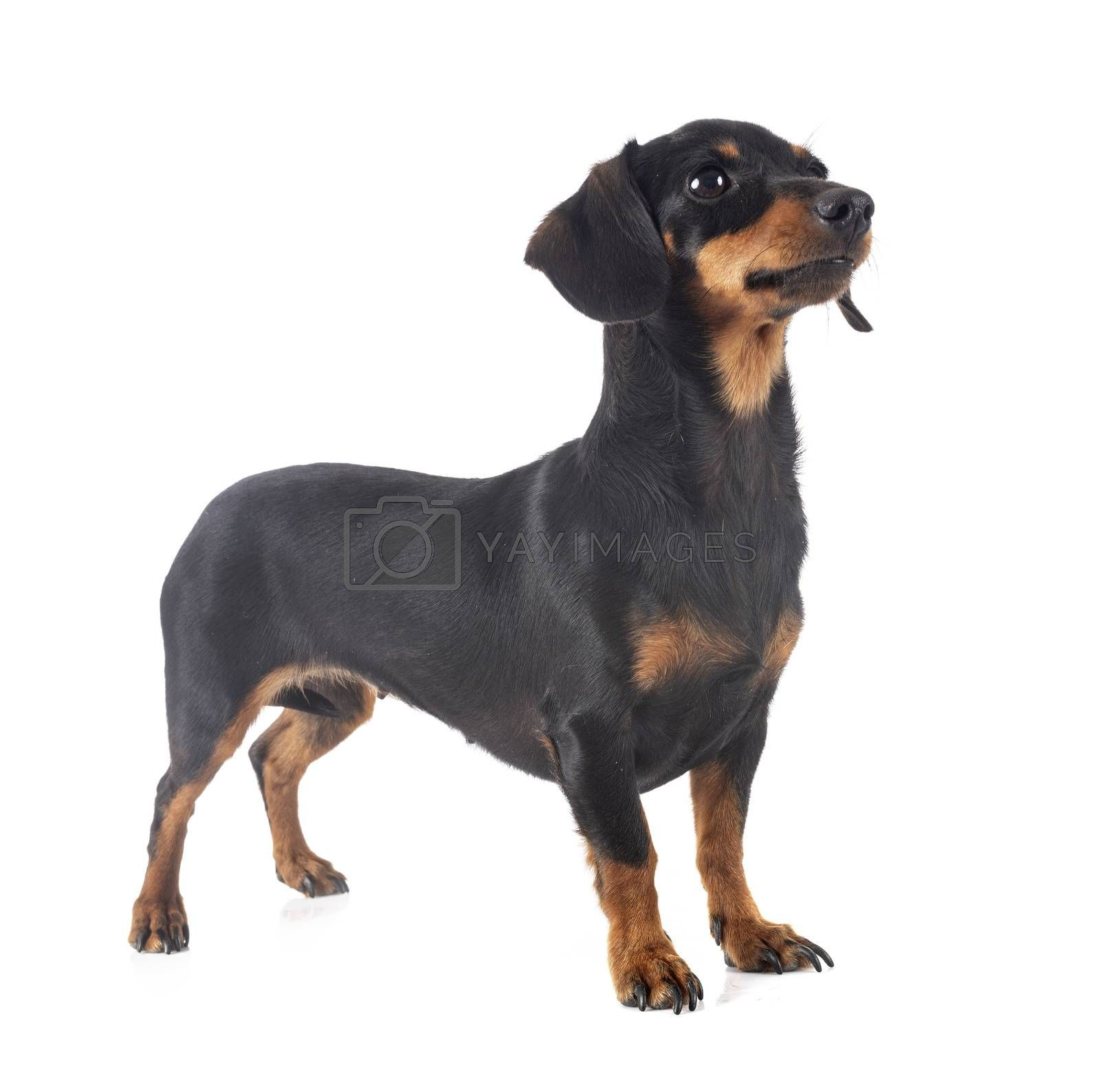 black and tan Dachshund in front of white background