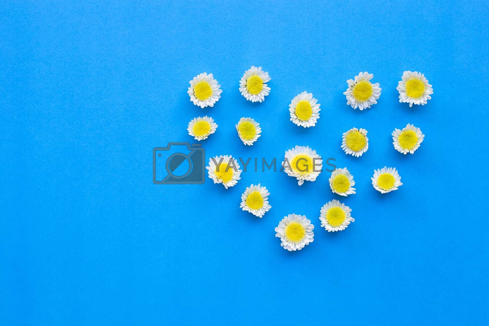 Composition of white yellow flowers. Chrysanthemums on blue paper background