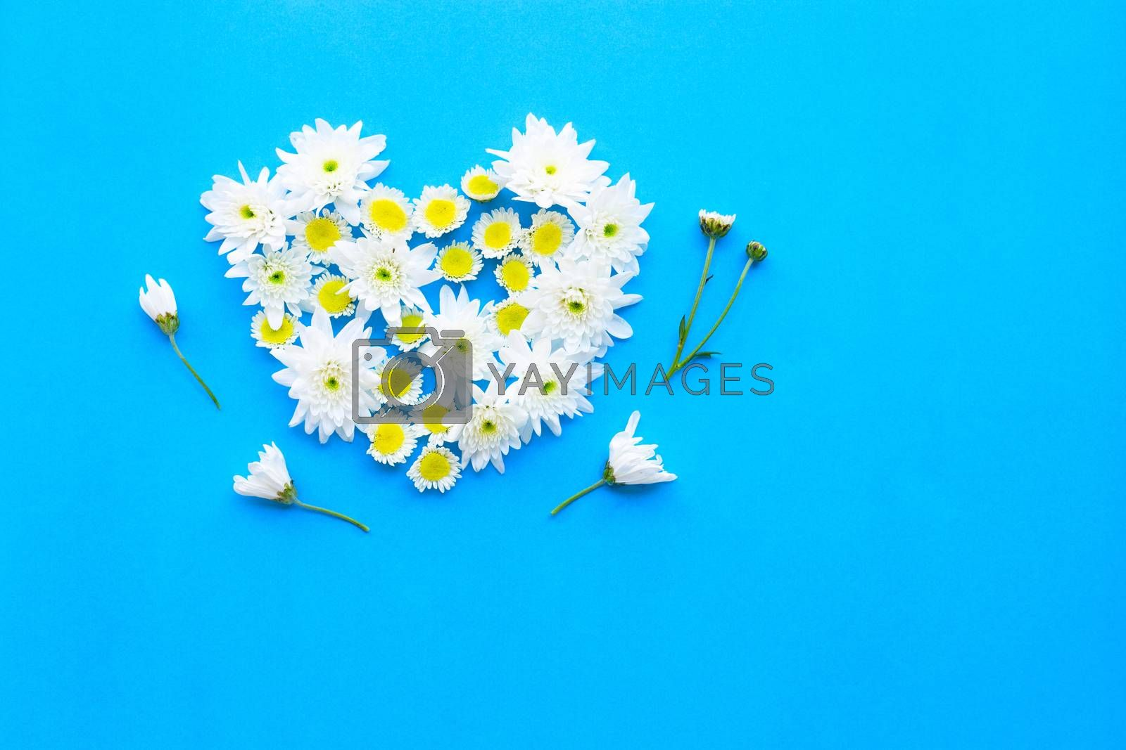 Composition of white yellow flowers on blue paper background.