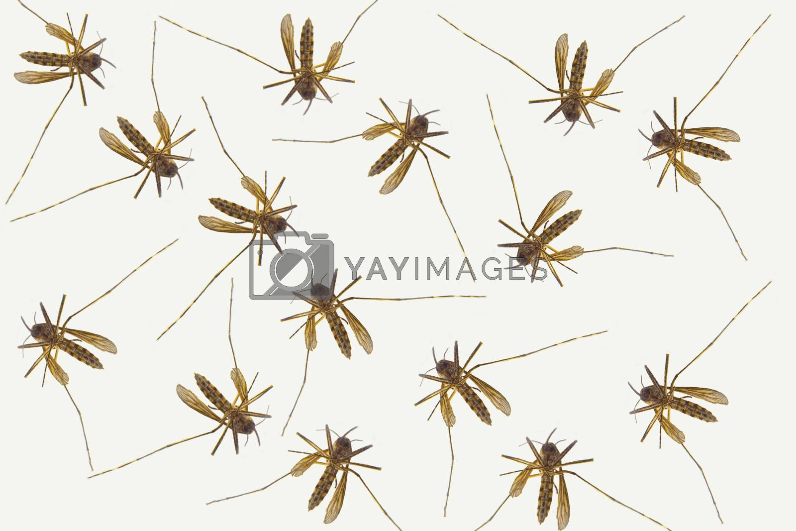 Several Mosquitoes on a white background. Concept: Mosquito season
