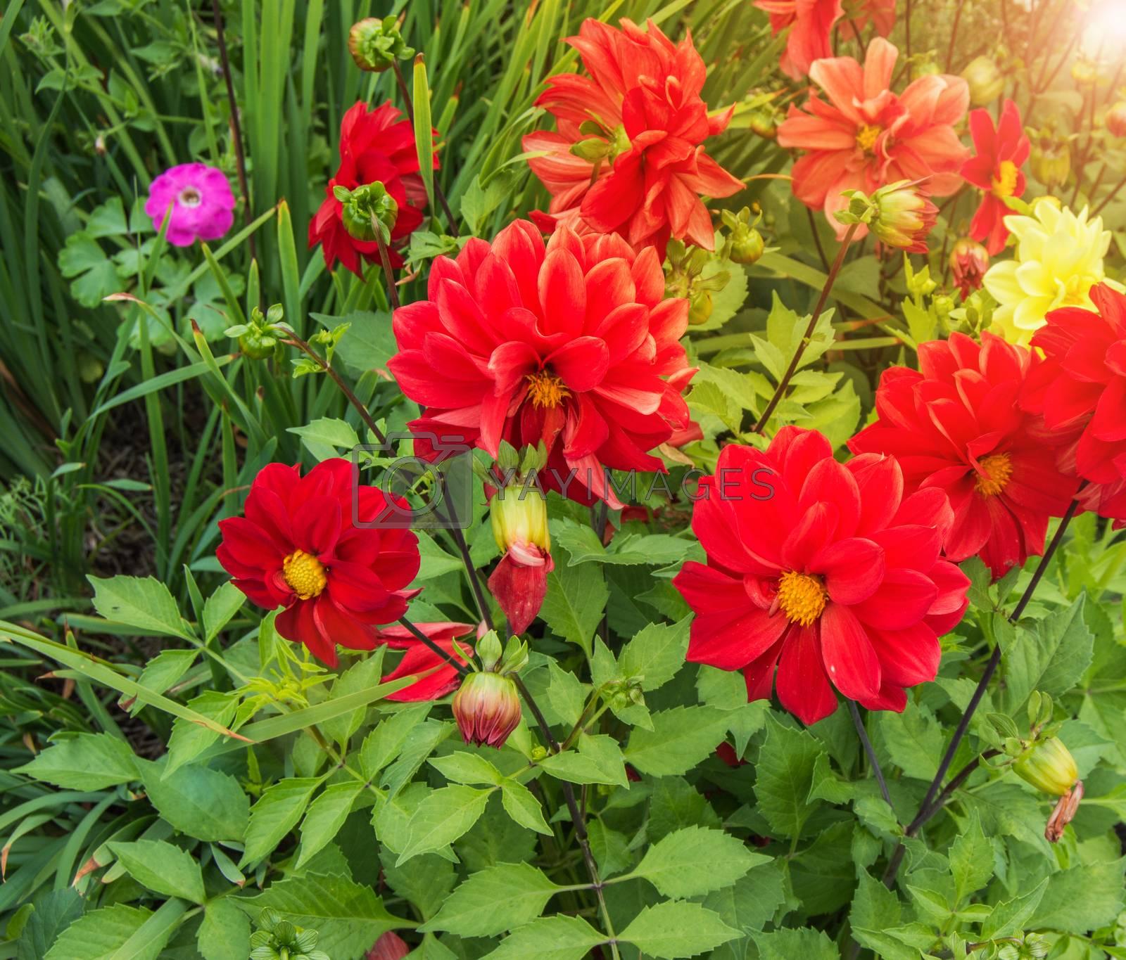 Red dahlias in the garden, bright sunlight, outdoors, nobody.