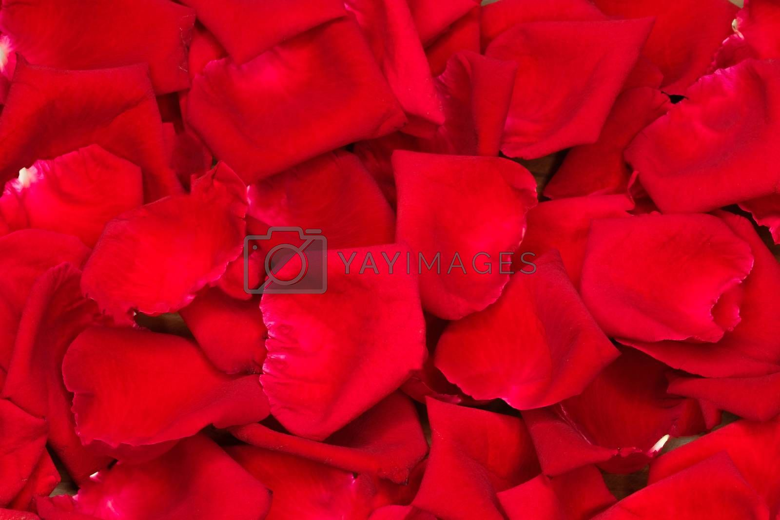 rose petals background by Nawoot