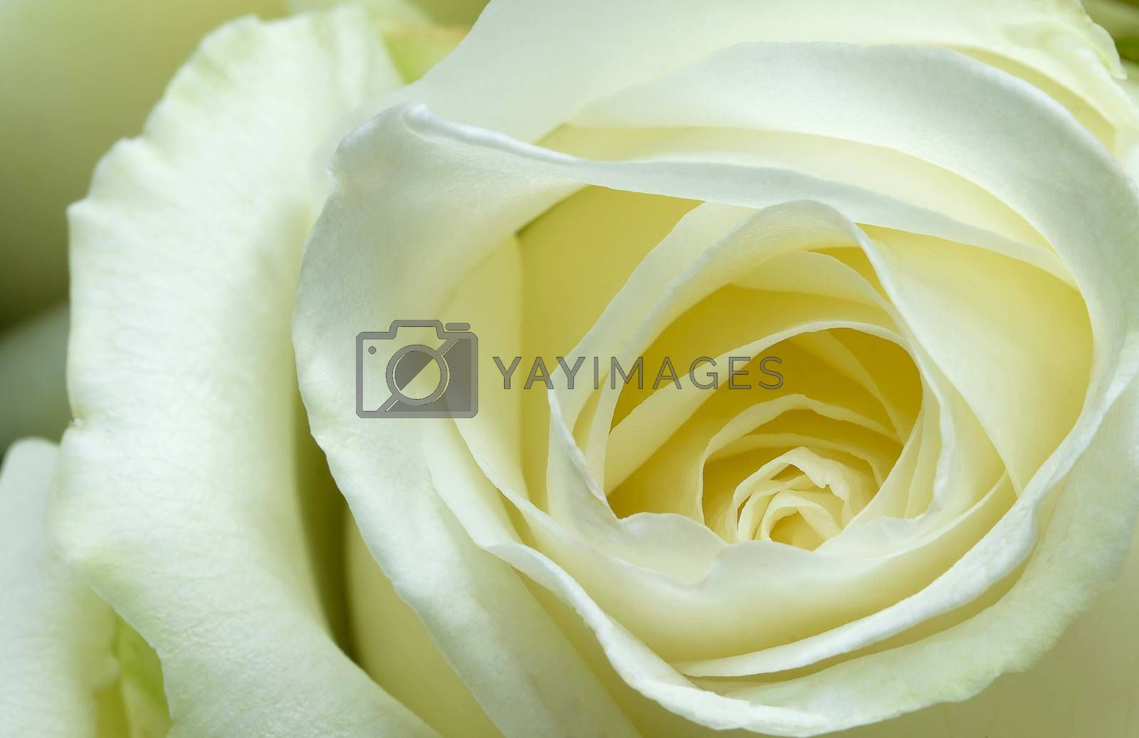 blooming white rose by Nawoot