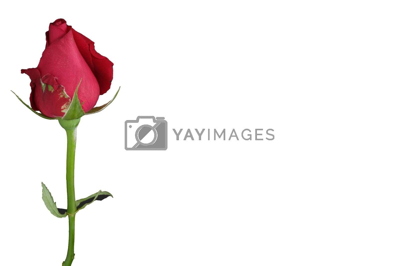 single red rose by Nawoot