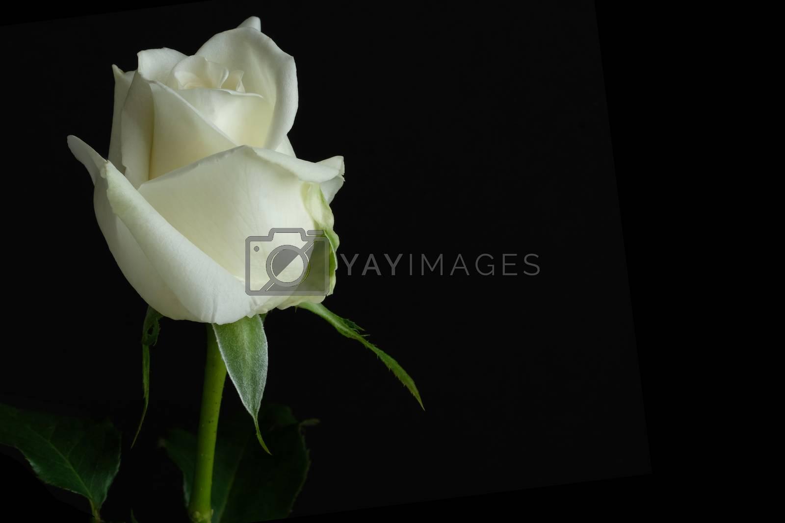 beautiful single white rose by Nawoot