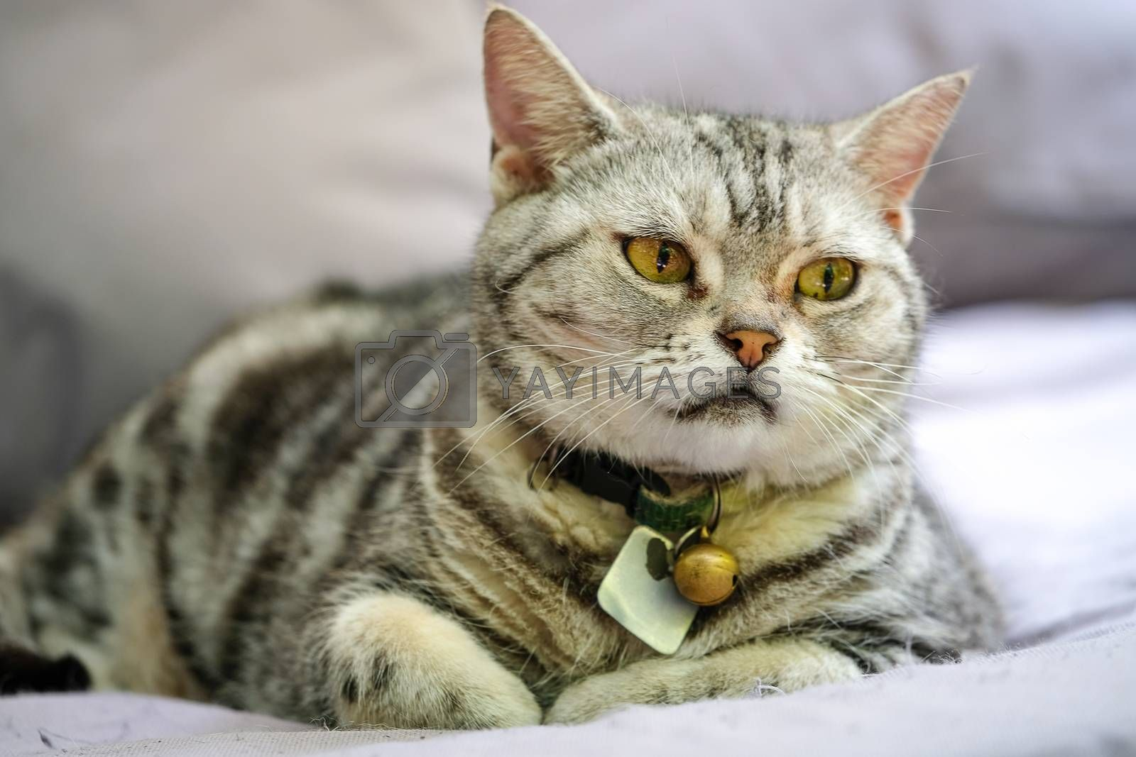 brown tabby cat by Nawoot
