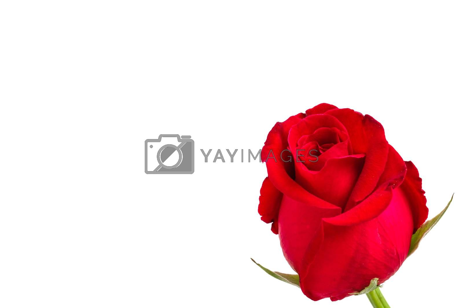 blooming red rose by Nawoot