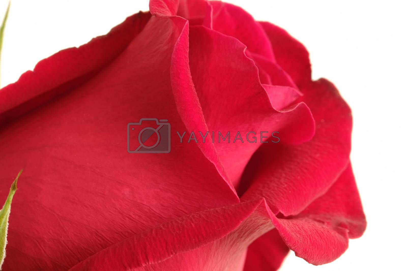 a red rose closeup by Nawoot