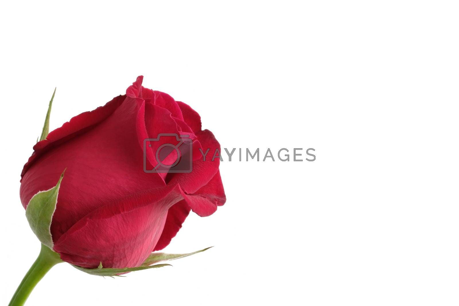 a red rose  by Nawoot