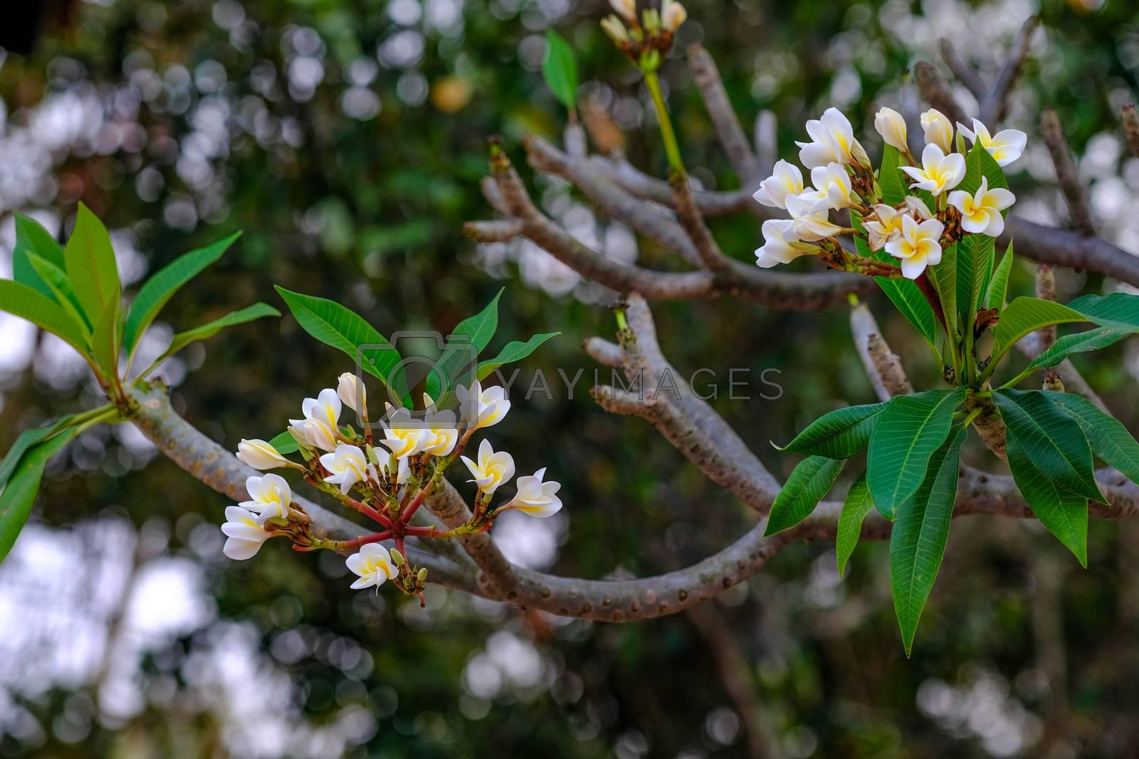 white and yellow frangipani flowers by Nawoot