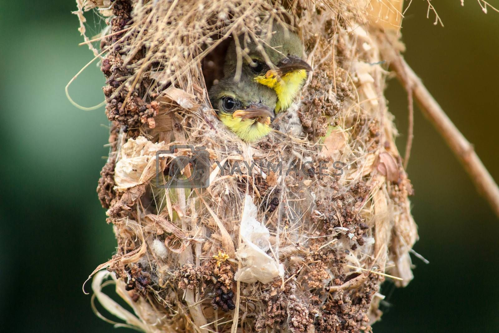 Close up of Olive-backed Sunbird family; baby bird in a bird nest hanging on tree branch waiting food from mother. Common birds in Asia, it reuse scrap for nesting materials. Selective focus. by TEERASAK