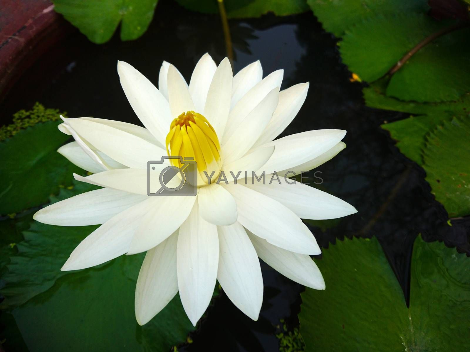Close up lotus blossom blooming in pond