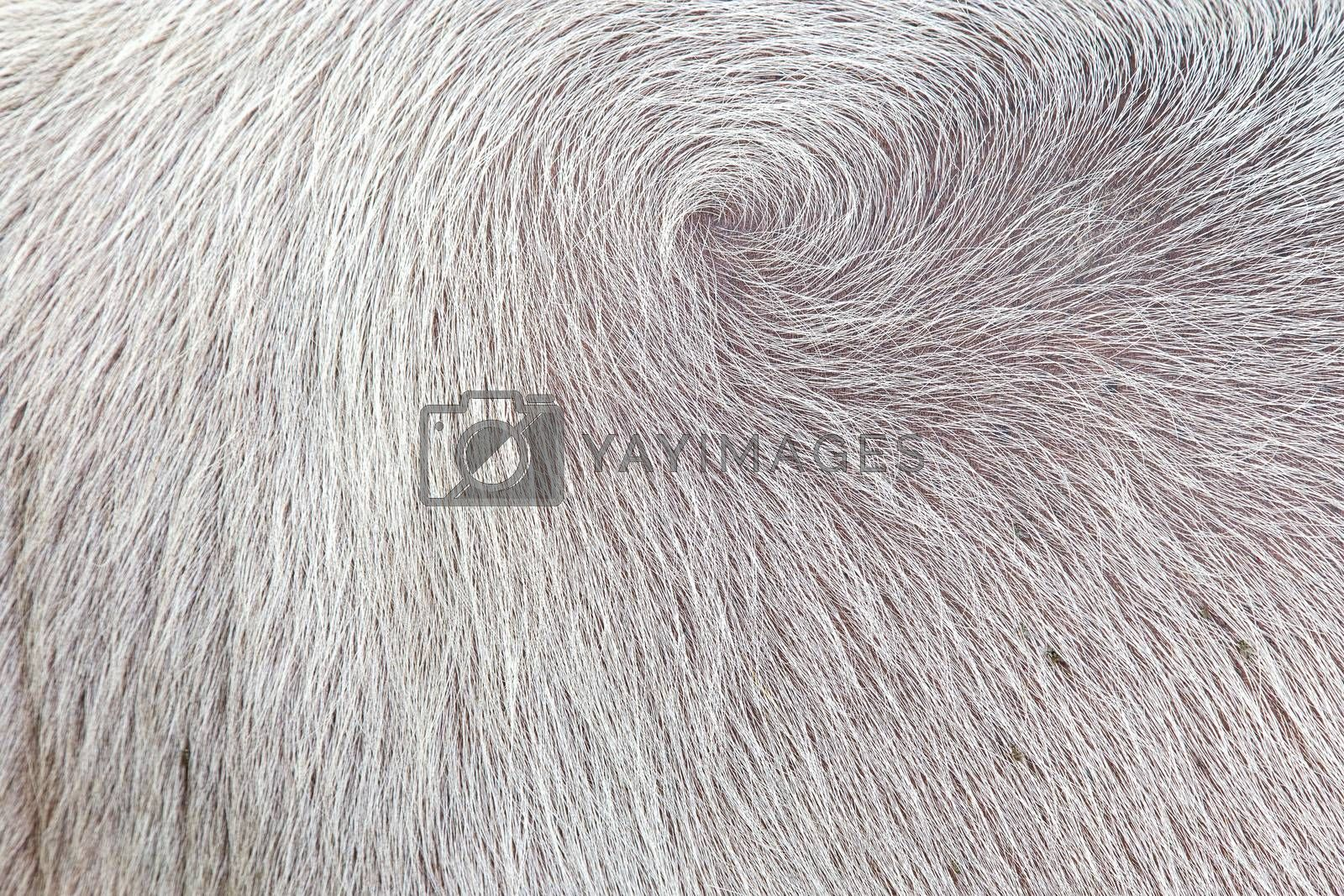 background of white color buffalo feathers