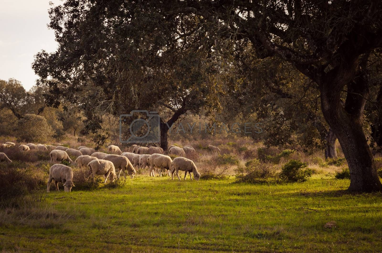 sheeps grazing in fields of Extremadura, spain