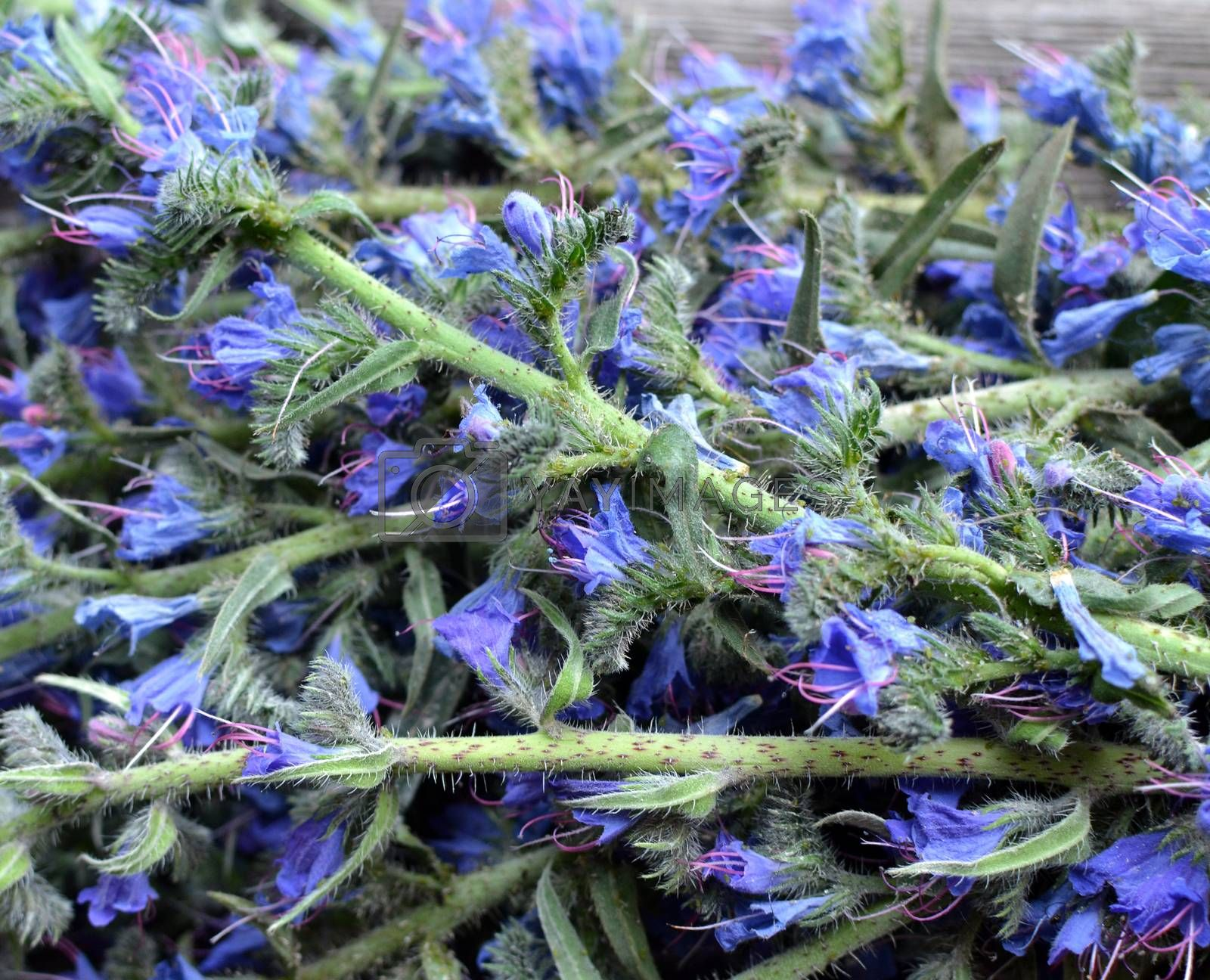 Inflorescences of the viper's bugloss medicinal plant in a heap