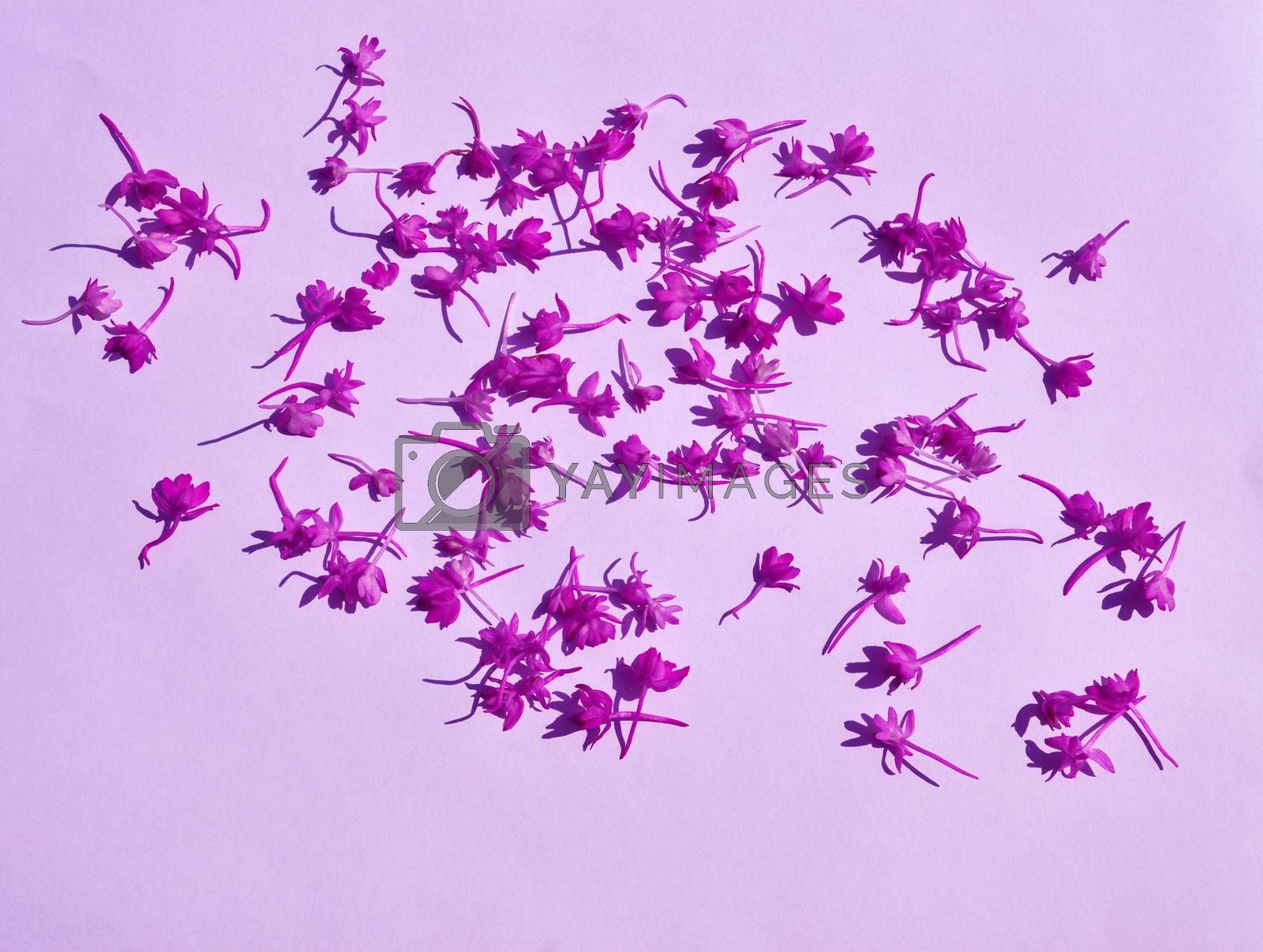Group of pink  pyramidal orchid flower
