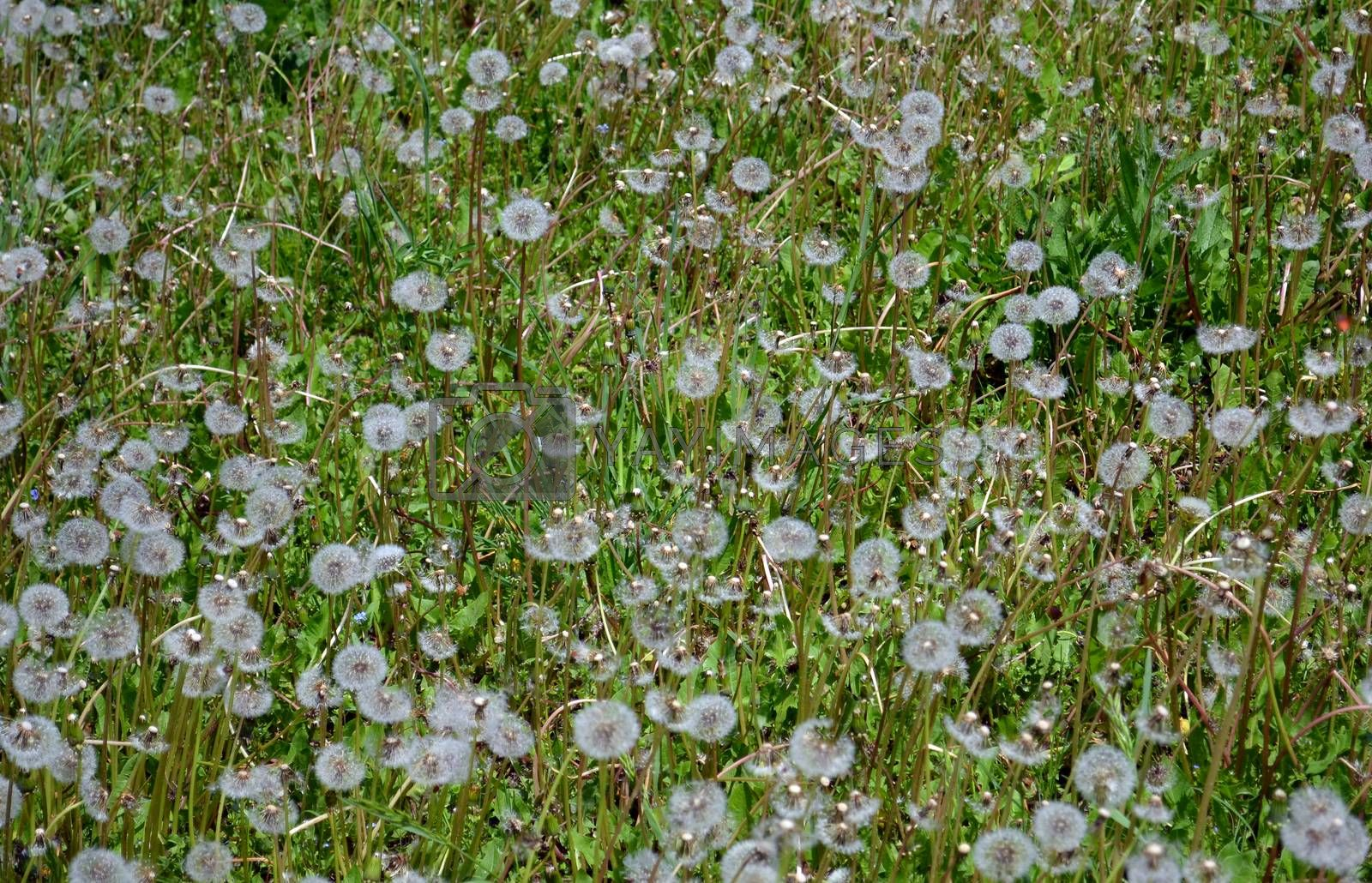 Green spring background with dandelions