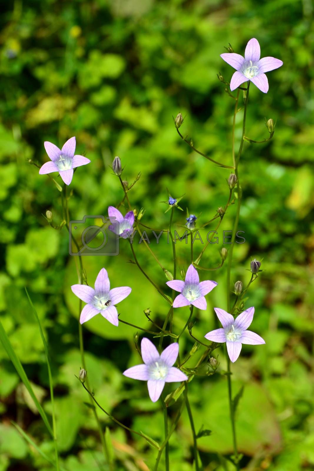 Campanula flowers in bloom on green meadow