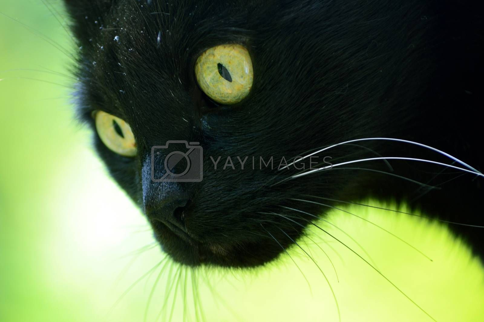 Black cat with green eyes on green background