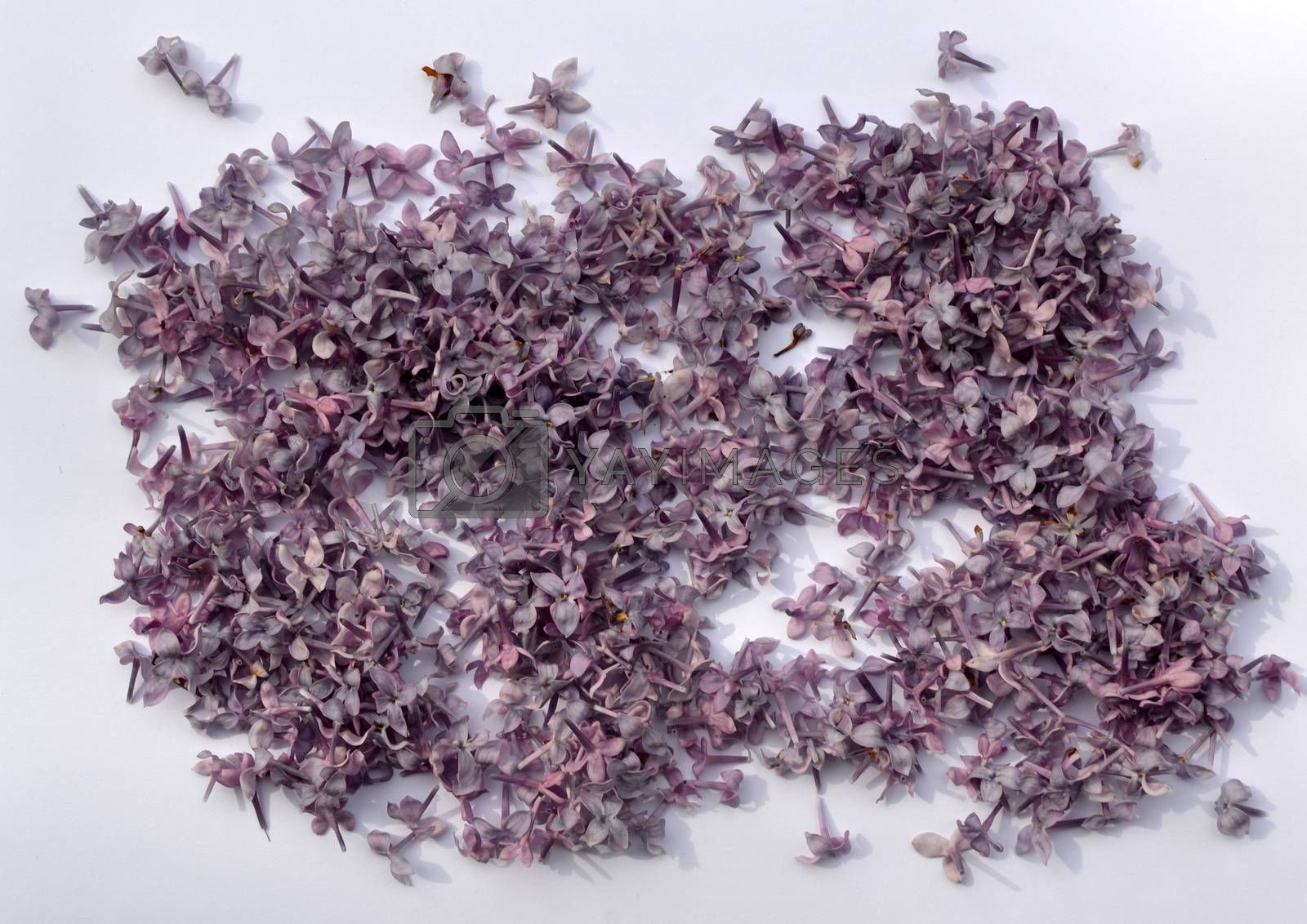A bunch of violet lilac on white background