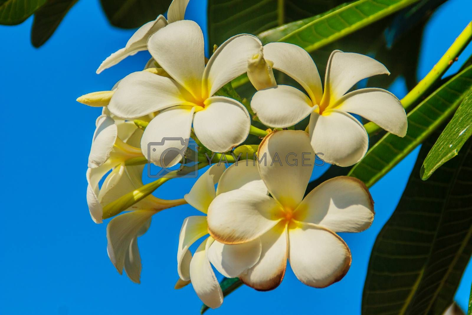 beautiful Plumeria Flower with blue sky background and green leaves