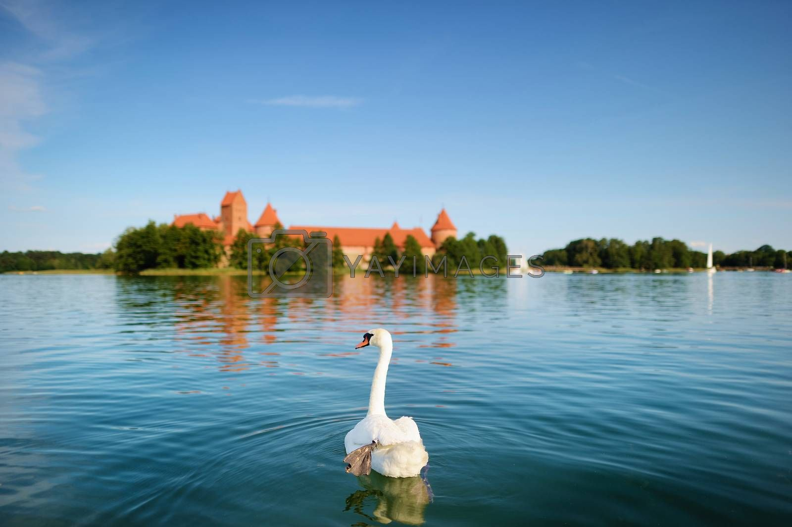 White swan and the Trakai castle in a background on beautiful summer day