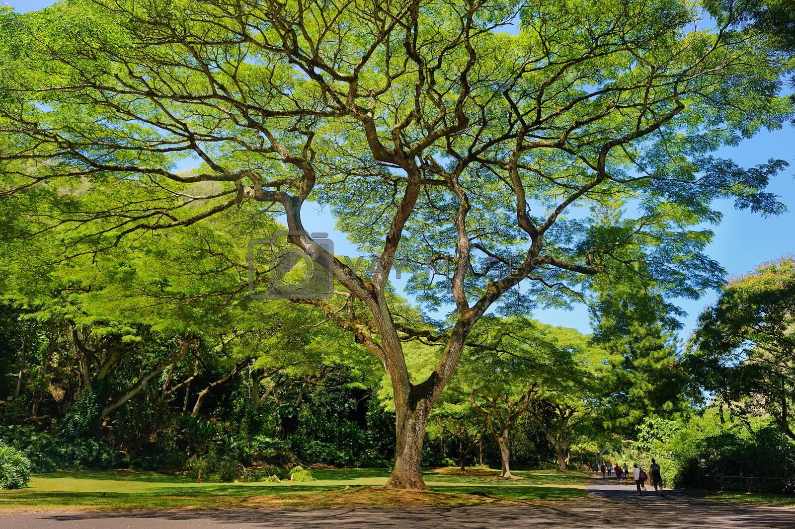 Beautiful tropical tree in Waimea Valley park on Oahu island